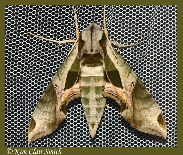 Pandorus sphinx - Eumorpha pandorus w sig.jpg