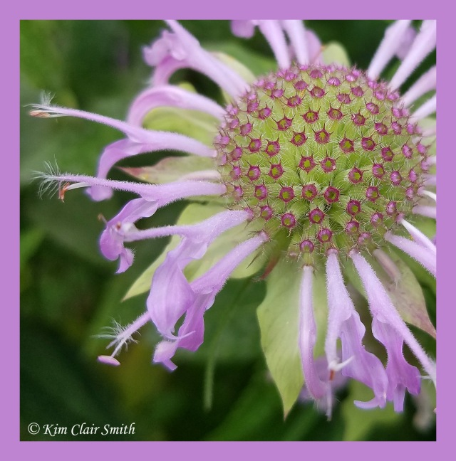 Pincushion look on spent monarda flower w sig