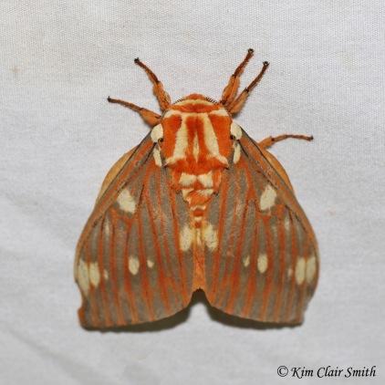 Regal moth w sig