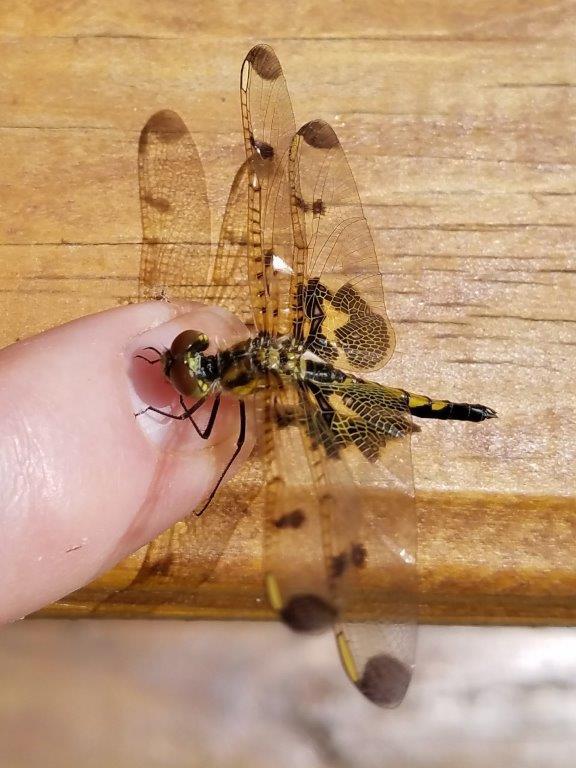 Rescued dragonfly - Hal Mann Ginny Mann v2