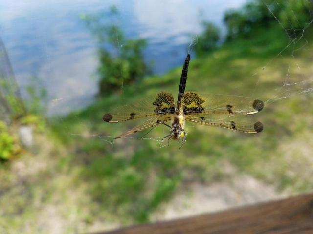 Rescued dragonfly - Hal Mann Ginny Mann v3