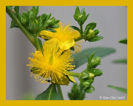 Shrubby st. john's wort Kim Clair Smith