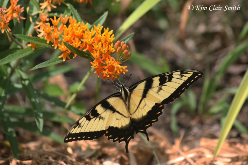 Tiger swallowtail on butterfly milkweed Kim Clair Smith