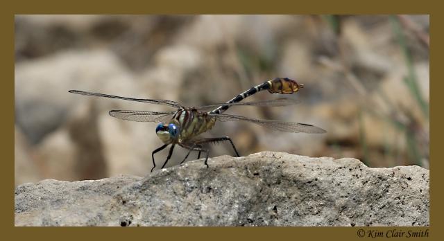 Flag-tailed spinyleg - blog