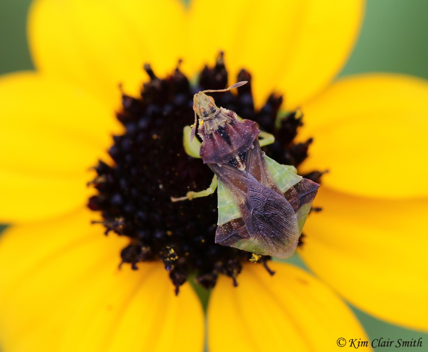 Jagged ambush bug on black-eyed susan - dorsal view w sig Kim Clair Smith