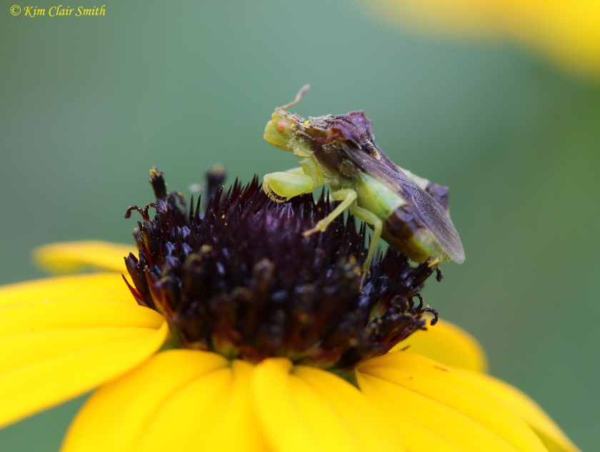 Jagged ambush bug on black-eyed susan - side view Kim Clair Smith