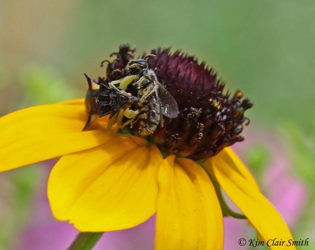 Jagged Ambush bug with bee prey sig Kim Clair Smith