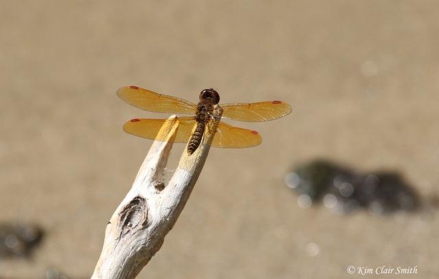 Eastern amberwing - blog sig