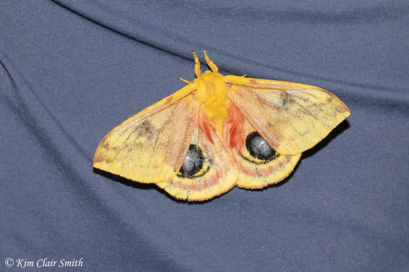 Io moth on Angie's pant leg - blog