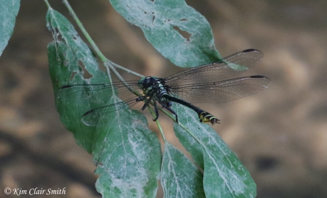 Laura's Clubtail LIFER - first photo