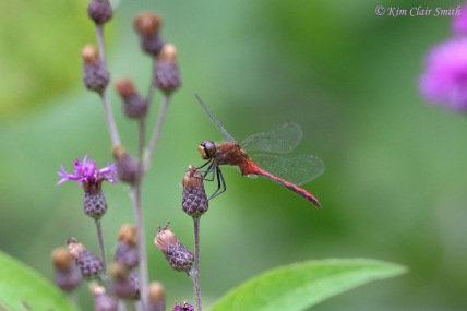 Meadowhawk on ironweed w sig