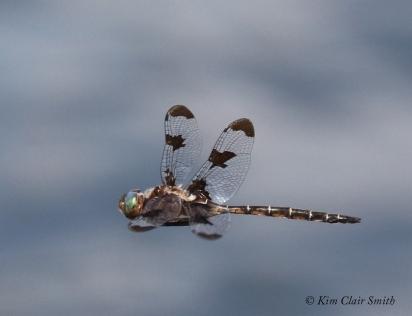 Prince Baskettail in flight