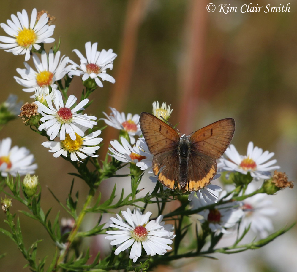 Bronze copper on asters w sig