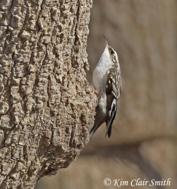 Brown creeper w sig