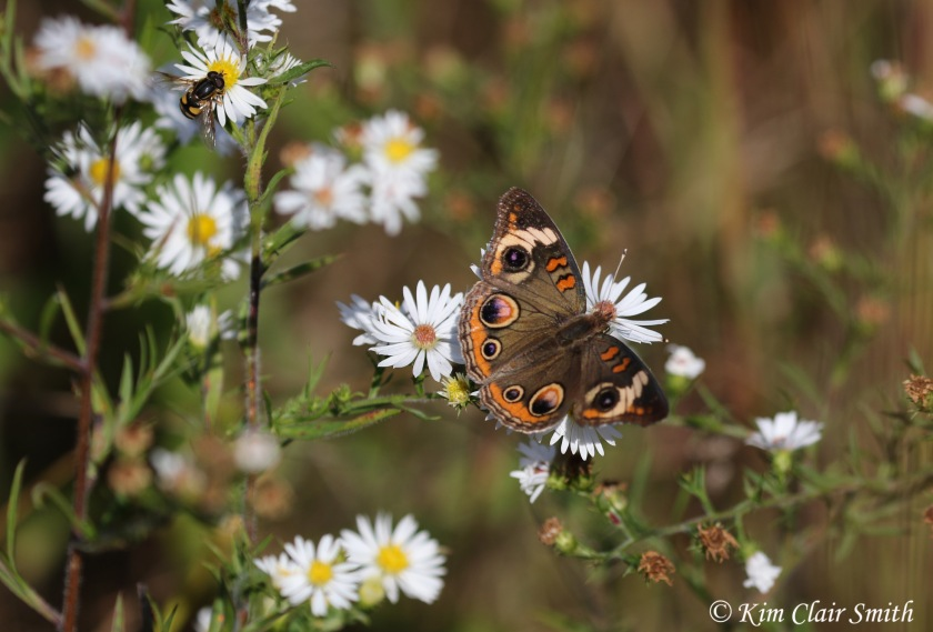 Common buckeye on asters w sig