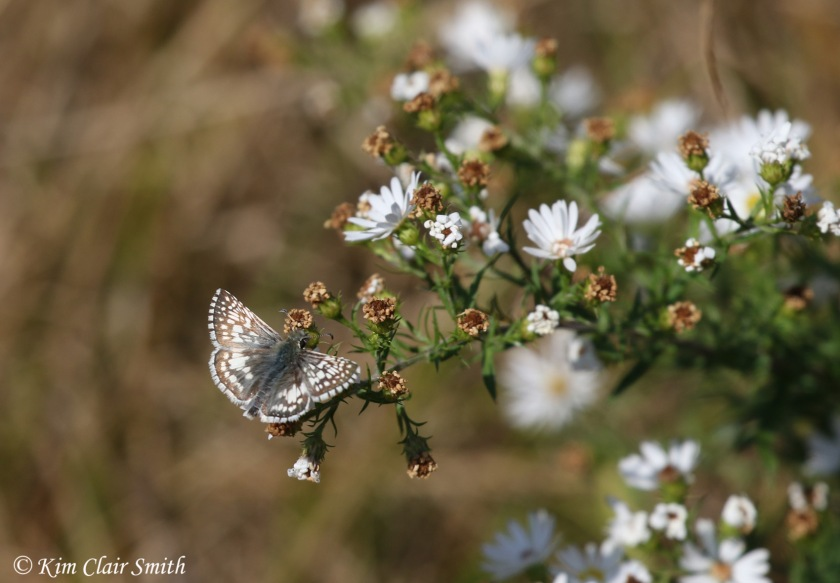 common checkered skipper on asters w sig