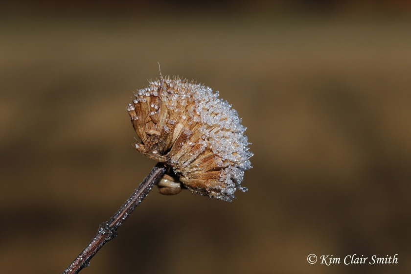 Frost on flower head - reduced size - blog