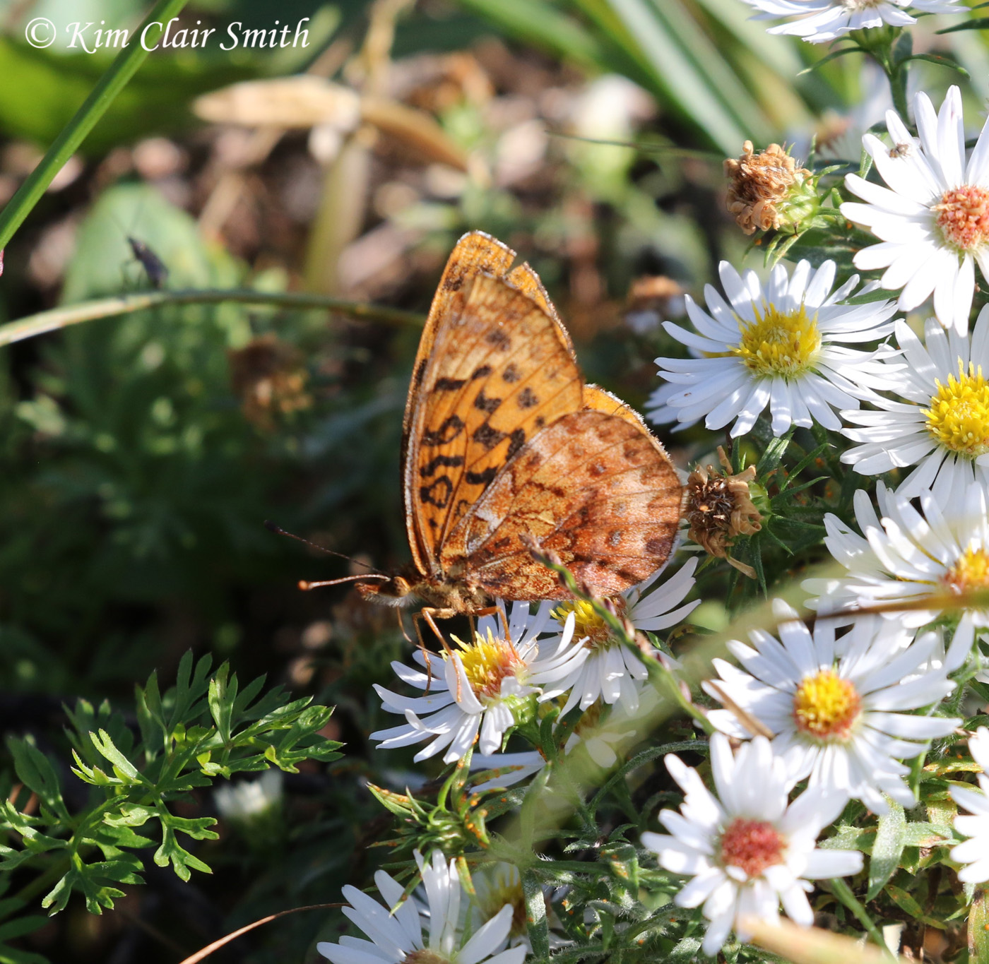 Meadow fritillary on asters w sig
