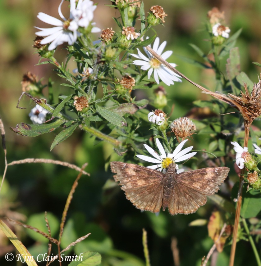 wild indigo duskywing on asters w sig