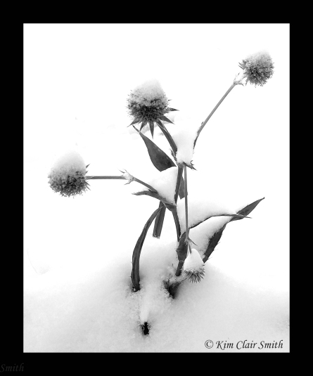 Rattlesnake master with snow - B&W