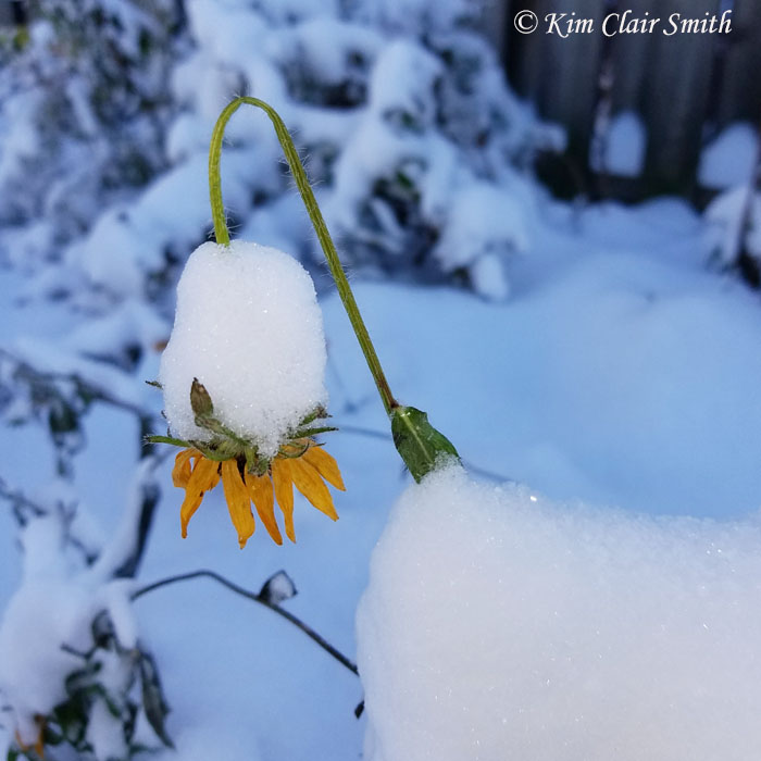 Rudbeckia with snow - blog