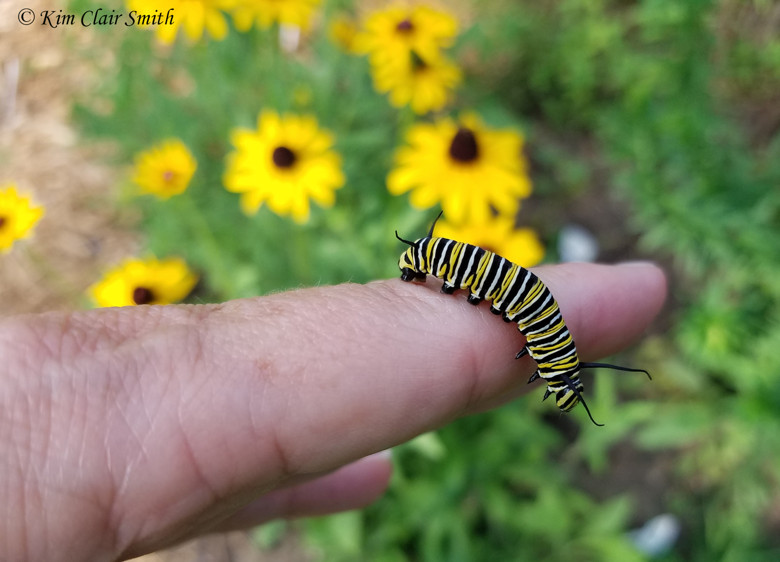 Fifth instar monarch caterpillar on my hand w sig