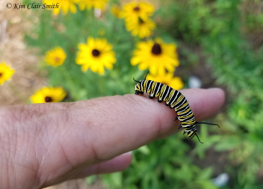 Fifth instar monarch caterpillar on my hand w sig