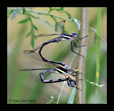 Great spreadwings ovipositing w sig