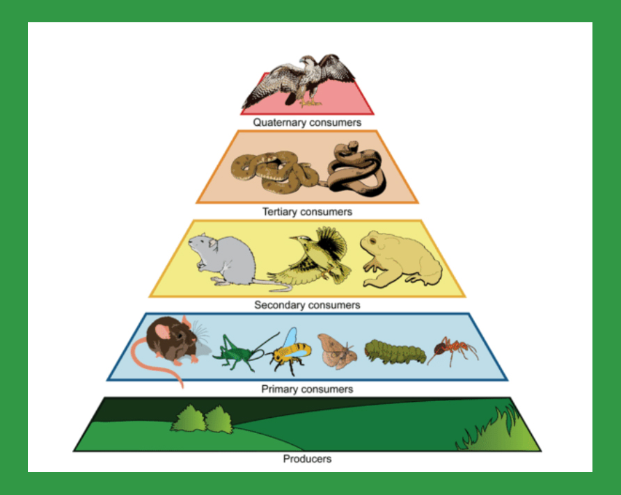 Trophic pyramid from Ck12 dot org - creative commons license