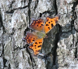 Eastern Comma butterfly - blog