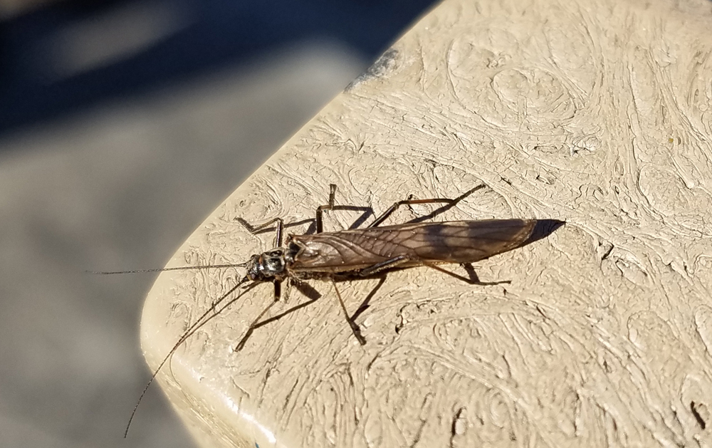 Winter stonefly at Middlegrounds