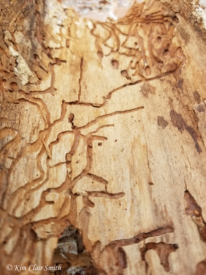 Insect tunnels on pine bark - Oak Openings - blog