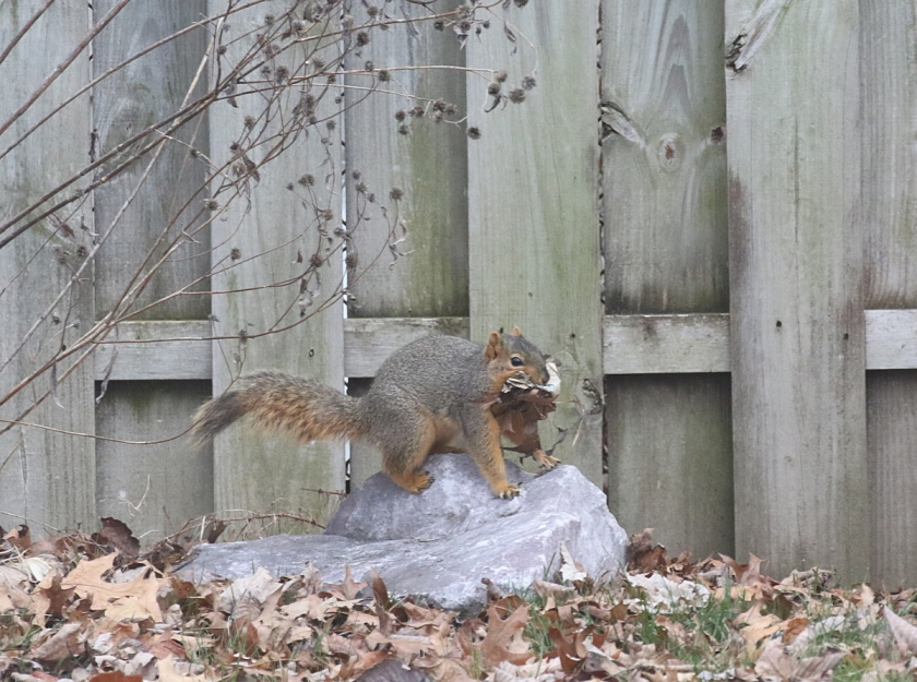 squirrel nest building - blog (1)