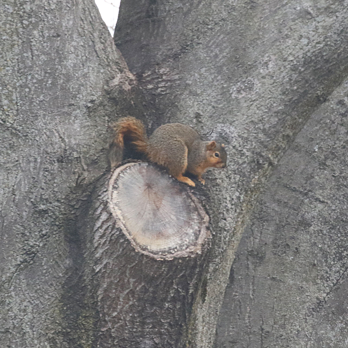 squirrel nest building - blog (2)