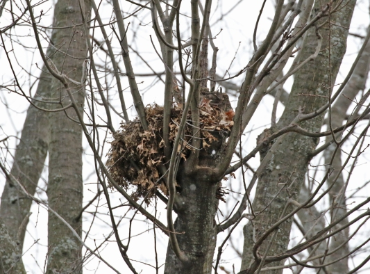 squirrel nest building - blog (3)