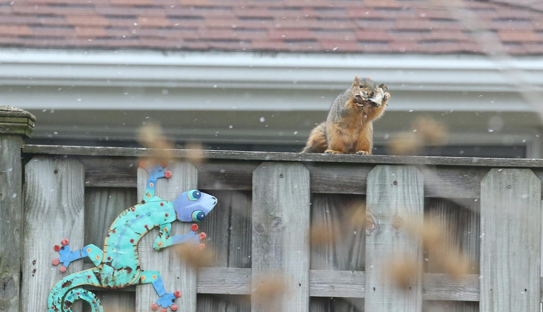 squirrel nest building - blog (4)