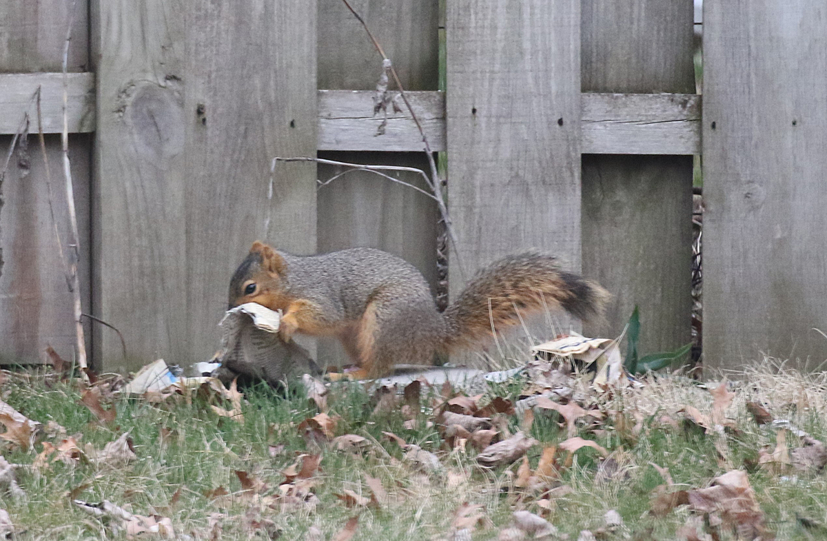 squirrel nest building - blog (5)