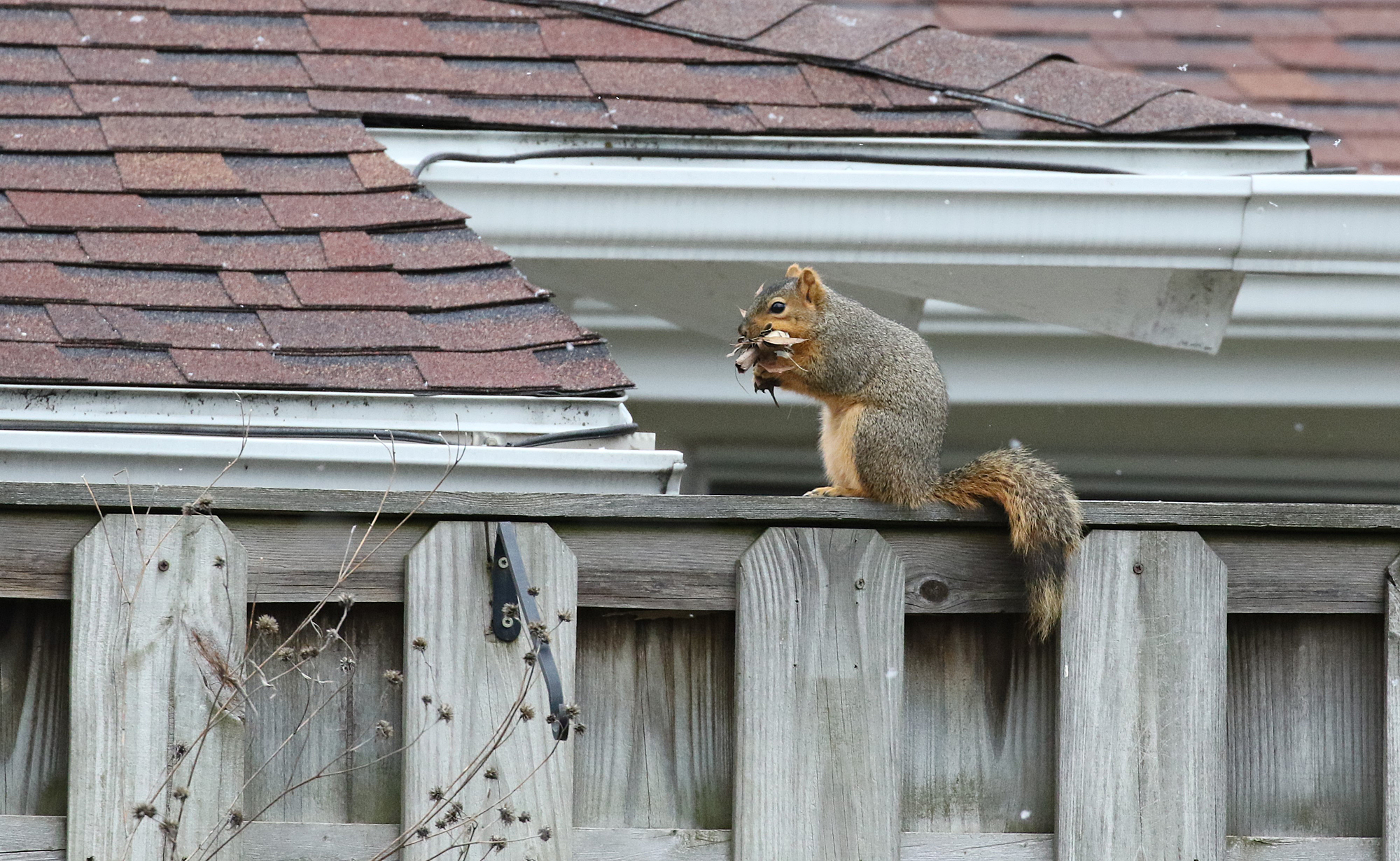 squirrel nest building - blog (6)