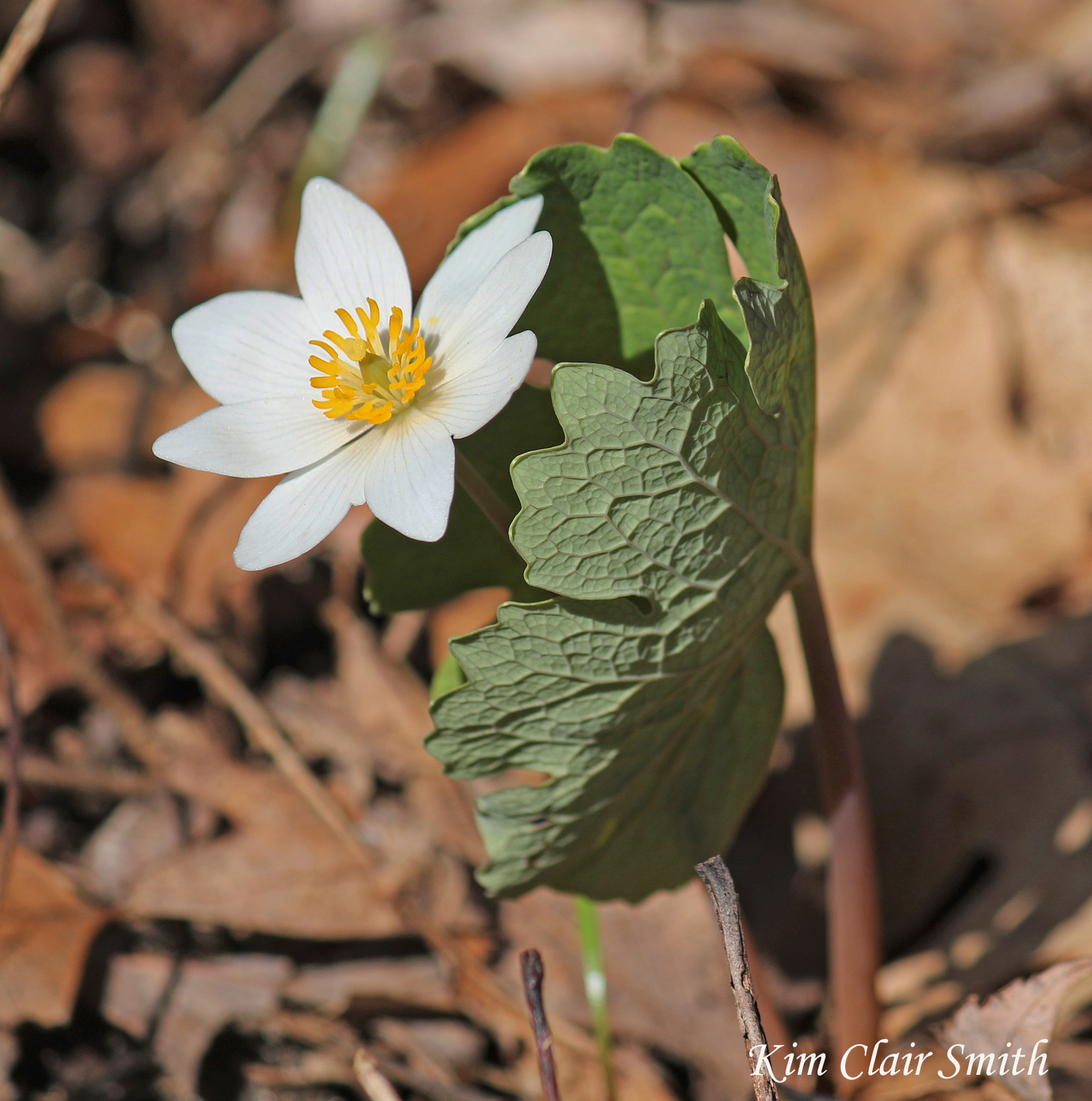 Bloodroot leaf texture - blog