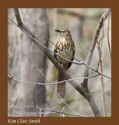 Brown thrasher - blog