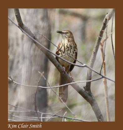 Brown thrasher - blog