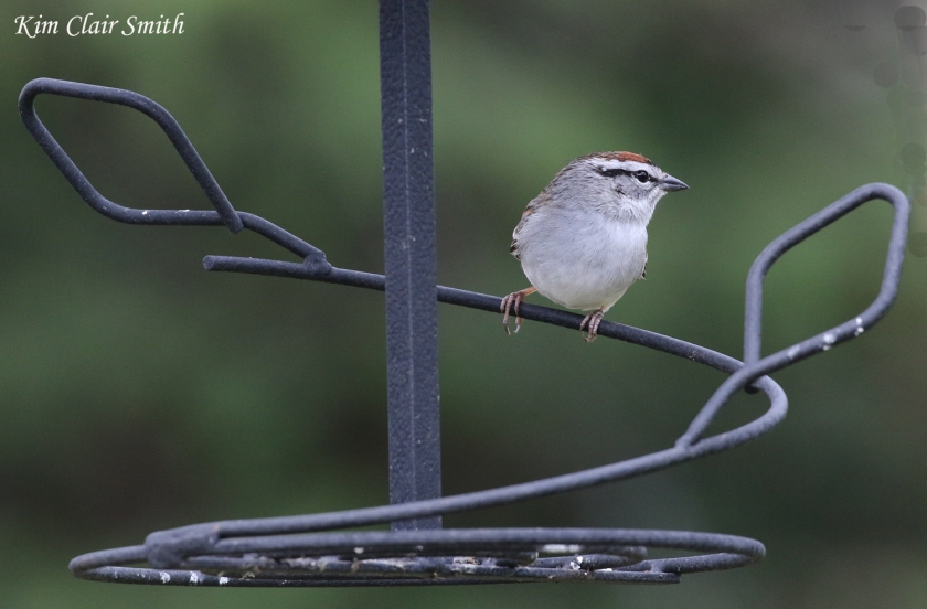 Chipping sparrow - my yard - blog