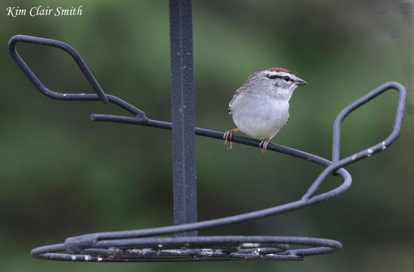 Chipping sparrow - my yard - blog