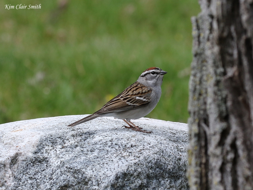 Chipping sparrow on rock - blog