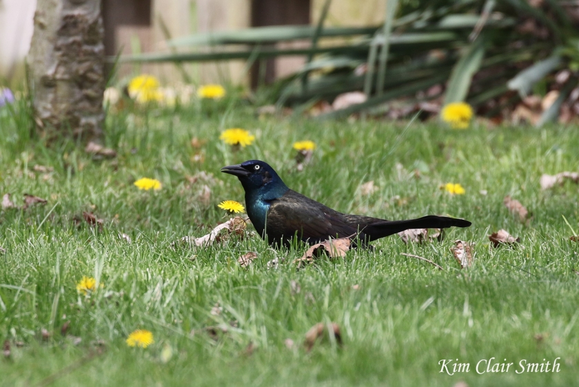 Common grackle with dandelions in my yard - blog