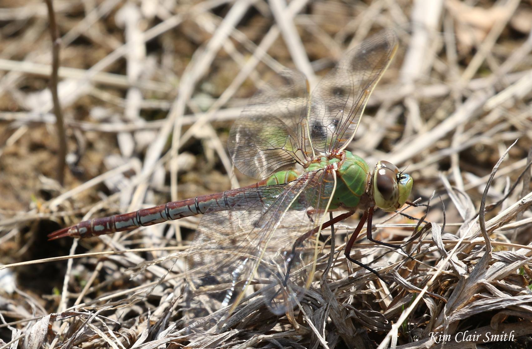 Common Green Darner FOY - blog