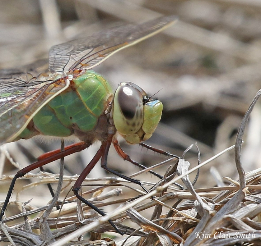 Common Green Darner profile head crop - blog