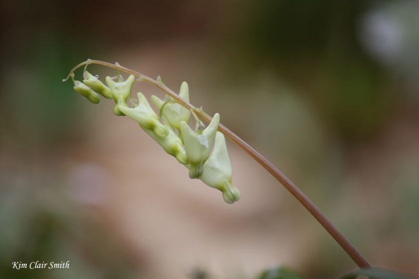 Dutchman's breeches - very new tiny flowers - blog