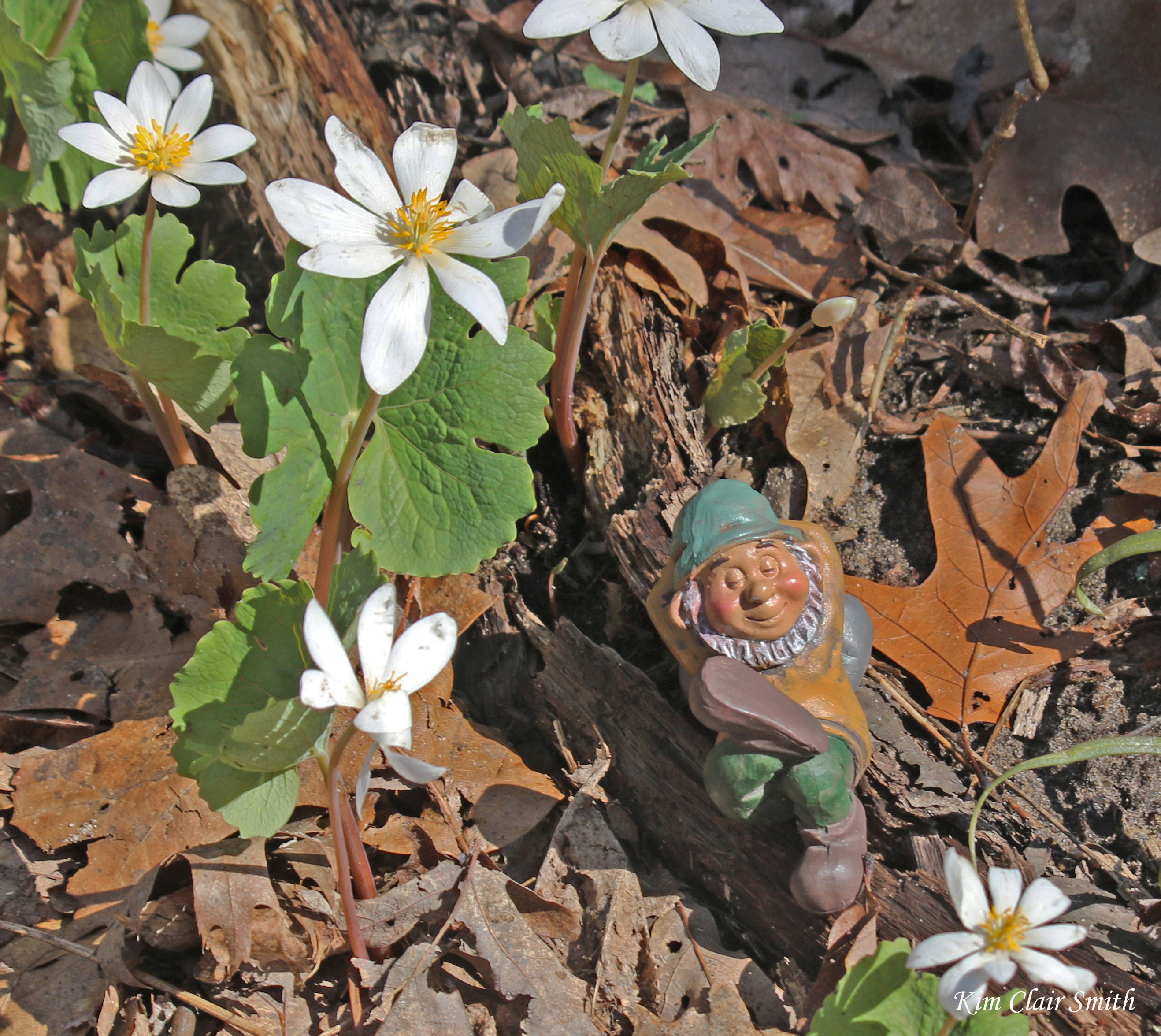 Gnome napping under bloodroot - blog