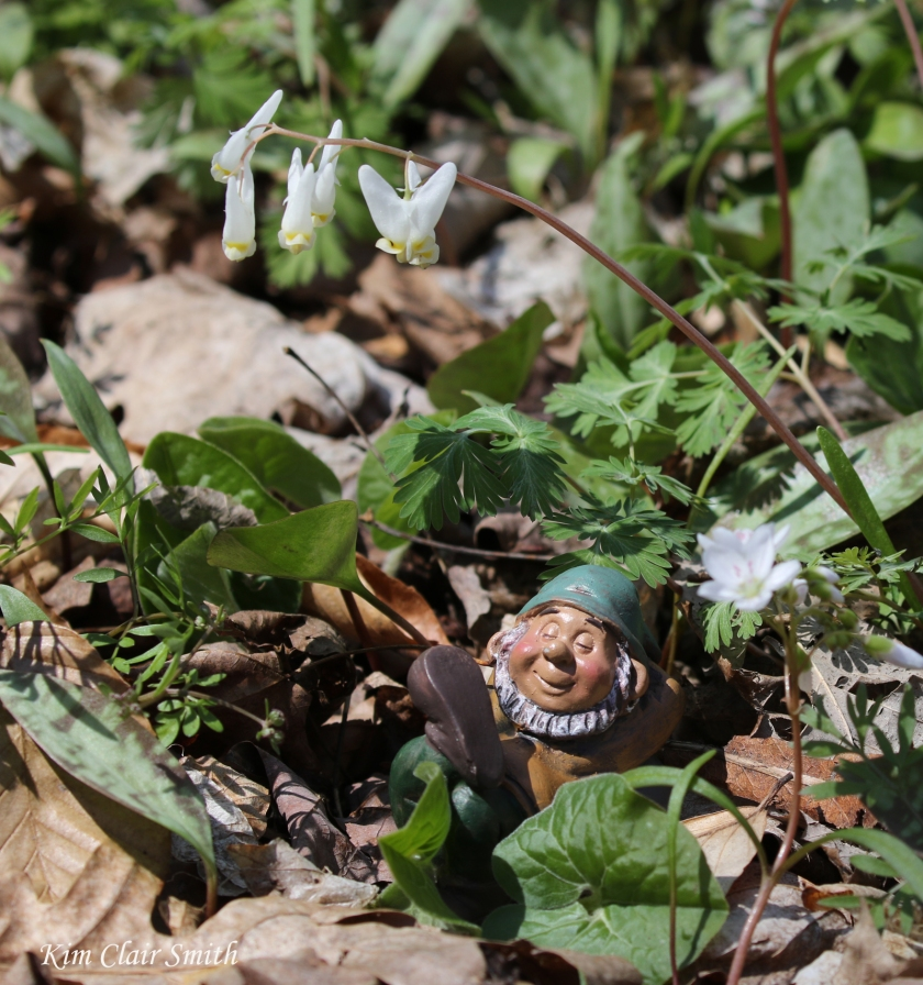 Gnome under Dutchman's breeches laundry LOL v2 blog